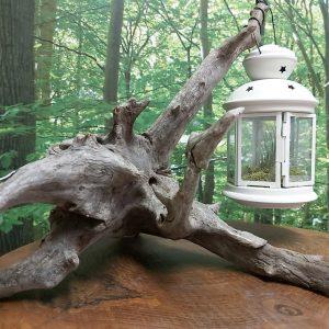 Souche lanterne Tillandsia photo 1, 1 dispo, 18 L x 15 h, 49,95$ ship 10,95$