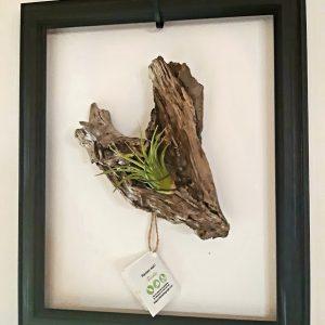 Cadre coeur tillandsia 2 pièces, cadre et coeur en bois de berge avec Tillandsia 10x12 prix 34,95$ ship 10,95$ 1 dispo